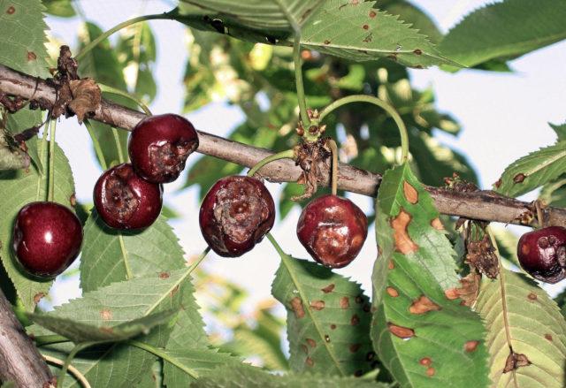 Как бороться с болезнями плодов вишни