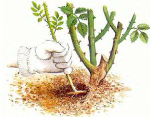 Размножение вишни корневой порослью