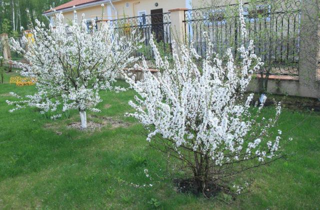 Требования вишни к почве