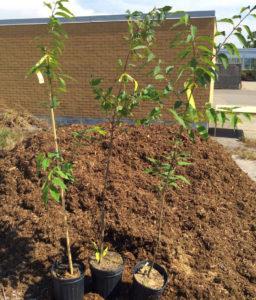 Подготовка почвы к посадке саженца вишни
