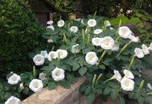Выращивание цветка дурмана