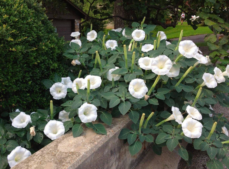 Дурман (датура): посадка, уход, описание и 25 фото цветка