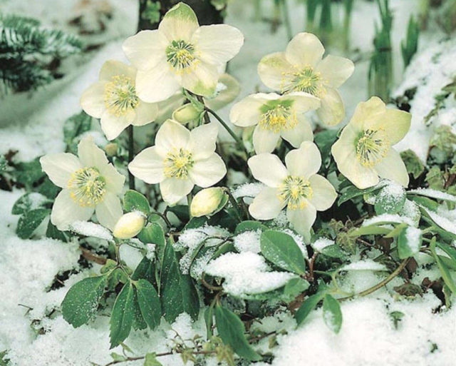 Морозник в снегу