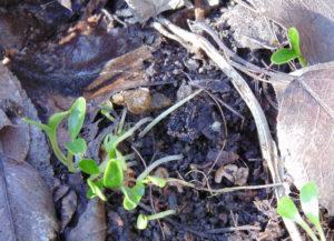Размножение семенами морозника в открытом грунте