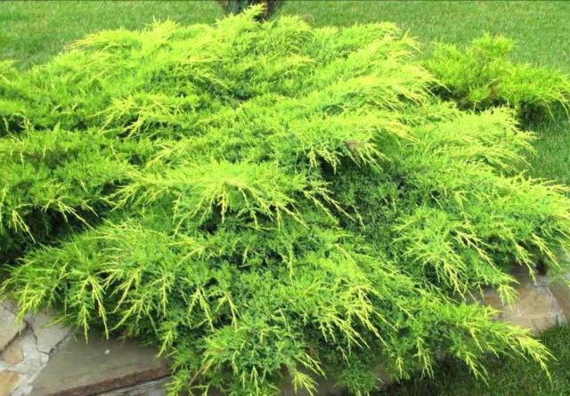 Агротехника выращивания можжевельника