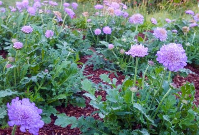 Место и почва в саду для скабиозы