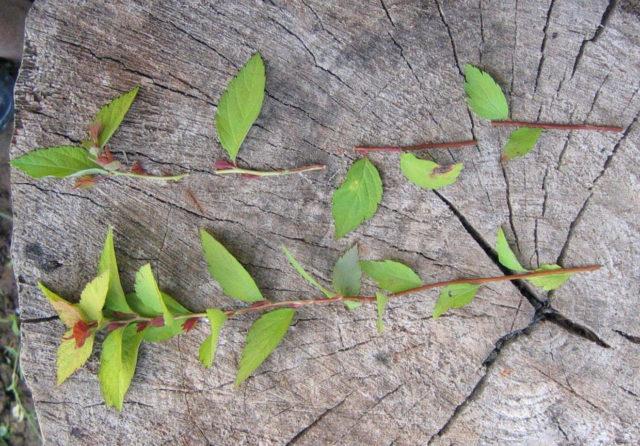 Размножение спиреи зелеными черенками