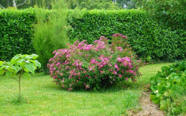 Фото спиреи в саду
