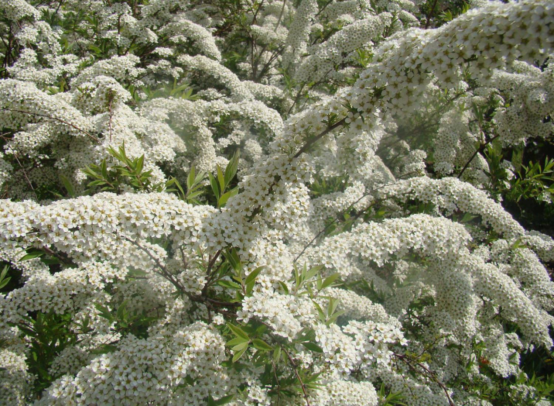 Спирея - секреты выращивания цветка на садовом участке новые фото