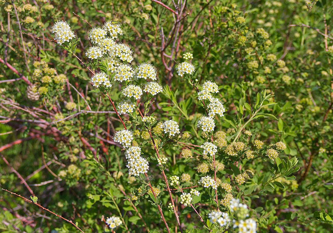 Смотреть Спирея - секреты выращивания цветка на садовом участке видео