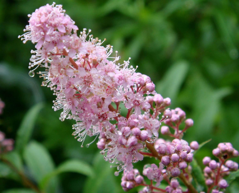 Спирея - секреты выращивания цветка на садовом участке картинки