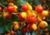 Описание растения древогубец