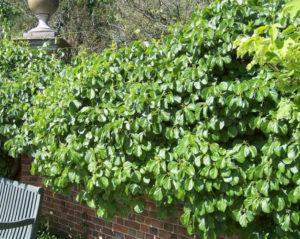 Зеленый забор из древогубца