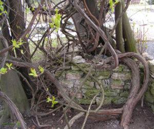 Краснопузырник в саду фото