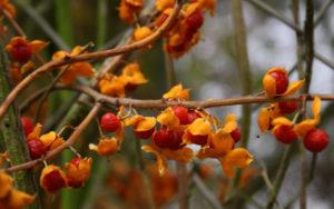 Агротехника выращивания краснопузырника