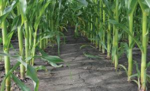 Правила полива кукурузы