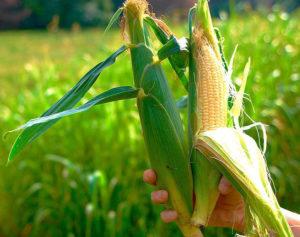Сорт сахарной кукурузы