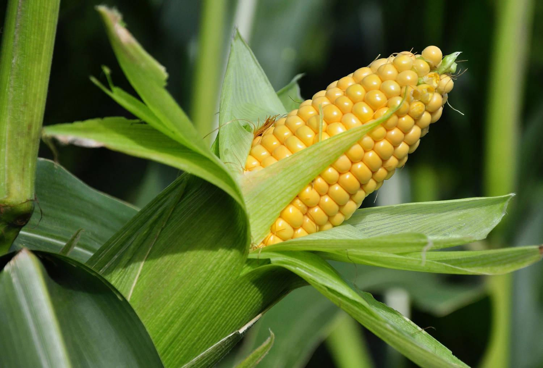 Выбор участка, выращивание и уход за рассадой для размножения кукурузы