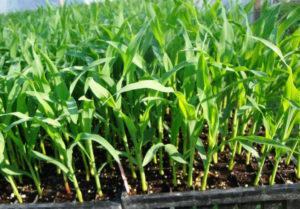 Место для посадки кукурузы
