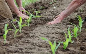 Посадка кукурузы на огороде