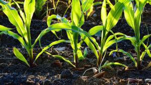 Подготовка почвы для кукурузы