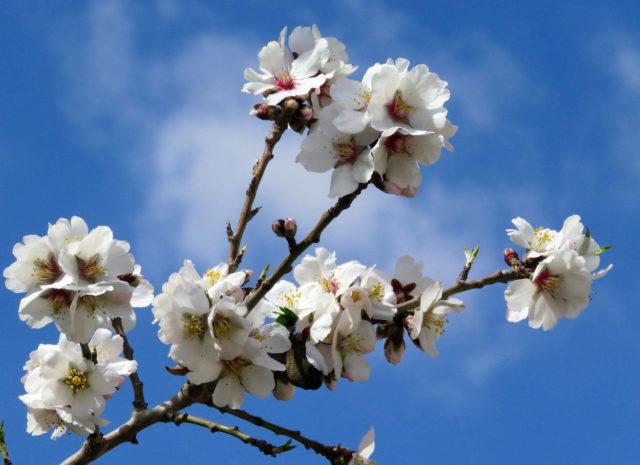 Белый цветок миндаля
