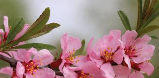 Как растет и цветет миндаль