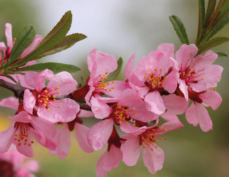 Миндаль когда цветет