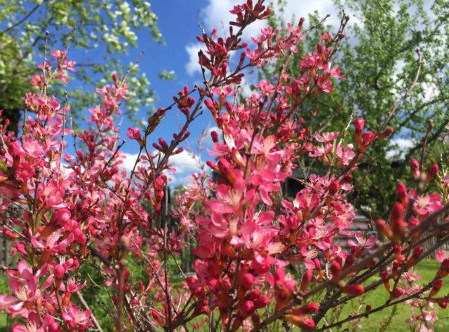 Уход за миндалём весной
