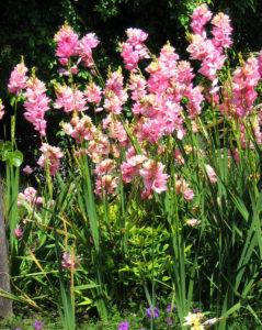 Фото иксии в садовом ланшафте