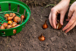 Как осенью посадить тюльпаны