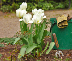 Правила ухода за тюльпаном