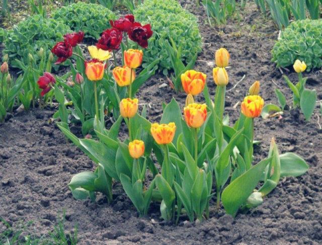 Фото тюльпанов на грядке в саду