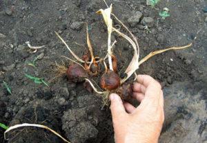 Луковица тюльпана для посадки в грунт