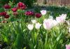 В какие дни сажать тюльпаны