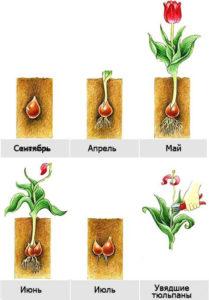Подготовка и посадка луковицы тюльпана