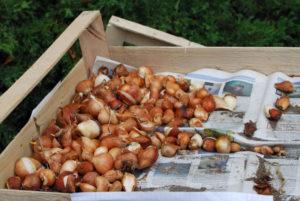 Правила хранения луковиц тюльпанов