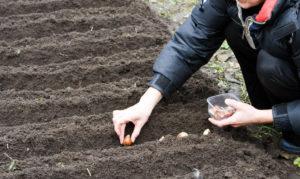 Почва для посадки луковиц тюльпанов