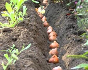 Агротехника посадки тюльпанов осенью в открытый грунт