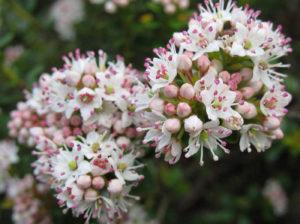 Кальмия самшитолистная (Kalmia buxifolia)