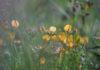 Агротехника выращивания лядвенца рогатого