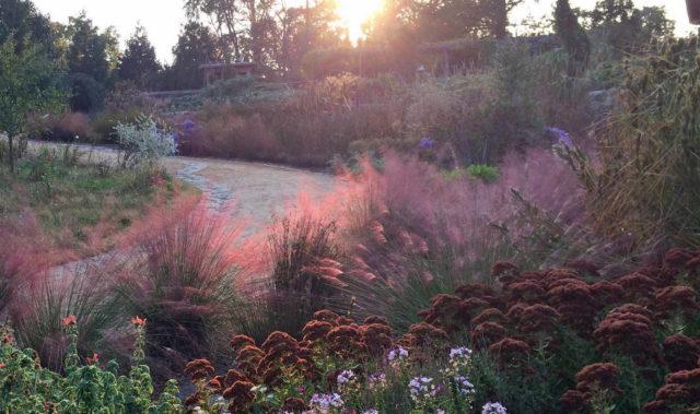 Мюленбергия в дизайне сада