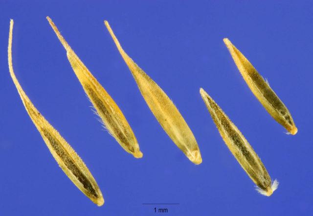 Семена мюленбергии волосовидной
