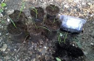 Как посадить рассаду мюленбергии в грунт