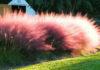Розовая оленья трава (Pink Muhly Grass)