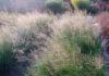 Споробол, или Каплесеменник раскидистый (S. heterolepis)