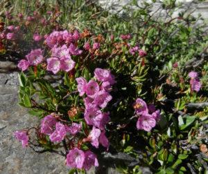 Кальмия мелколистная (Kalmia microphylla)