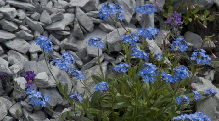 Незабудка альпийская (M. alpestris)