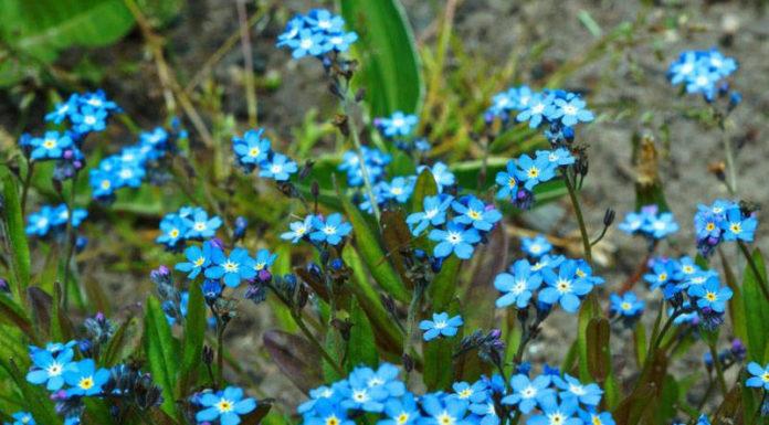 Незабудка альпийская садовая (M. alpestris х hybrida)