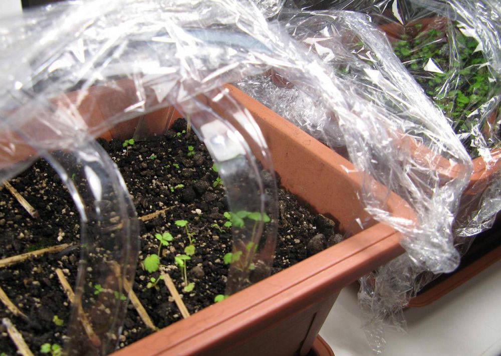 Стратификация семян древесных растений
